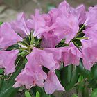 Pink rhododendron by Mary Tomaselli