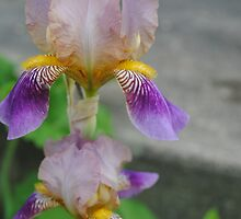 Mom's Irises by goddarb