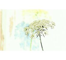 Queen Anne's Lace Watercolor Sketch Photographic Print