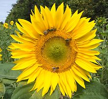 Sunflower with honey bees by Alan Gillam
