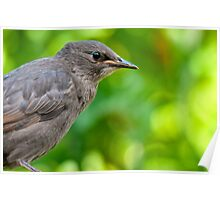Juvenille Starling Poster