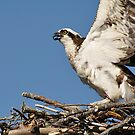 Osprey, Sandy Point Beach, Stockton Springs, Maine by fauselr