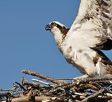 Osprey, Sandy Point Beach, Stockton Springs, Maine by fauselr