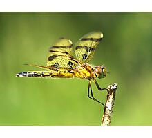 Halloween Pennant cleaning her eye. Photographic Print