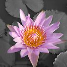 The water Lilly by Alan Gillam