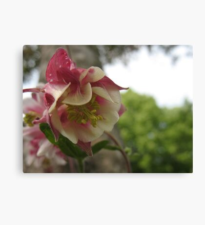 Sly Columbine Canvas Print