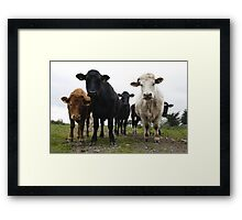 Interested Cows Framed Print