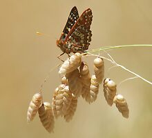 Checkerspot on grass by Anthony Brewer