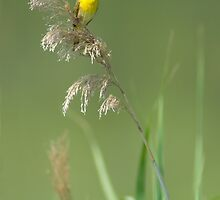 Common Yellowthroat Singing by Michael Mill