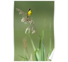 Common Yellowthroat Singing Poster