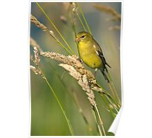 American Goldfinch (Female Summer Plumage) Poster
