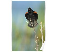 Red Winged Blackbird Singing Poster