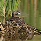 Pied-billed Grebe and Chicks by Bill McMullen