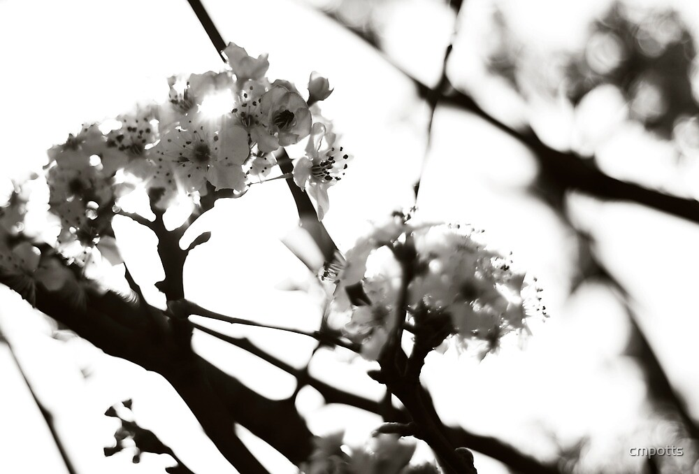 Black and White Cherry Blossoms by Carina Potts