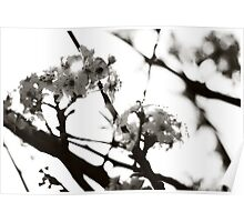 Black and White Cherry Blossoms Poster