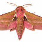 Elephant Hawk-moth Deilephila elpenor by Yorkspalette
