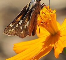 Skipper and September Flower by Jean Gregory  Evans