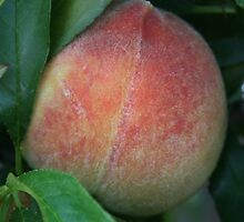 First Peach of the Season! by heatherfriedman
