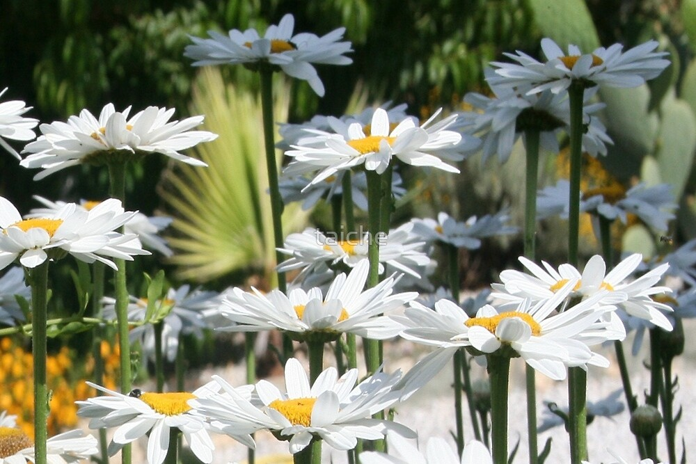 A Garden of White Daisy Flowers by taiche