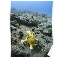 Clown Frogfish - Mucky Pirates Bay, Pemuteran, Bali, Indonesia Poster