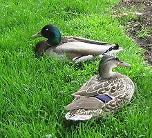 Couple of Ducks by jdbussone