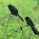 Smooth-Billed Ani's by Robert Abraham