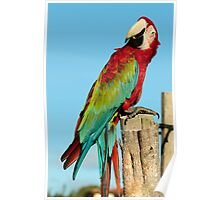 Red & Green Macaw Poster