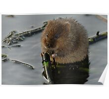 water vole eating up his greens Poster