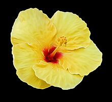 Yellow Hibiscus on Black by photosbypamela