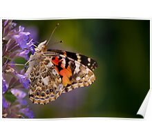 Red Admiral Butterfly in the Heather Poster