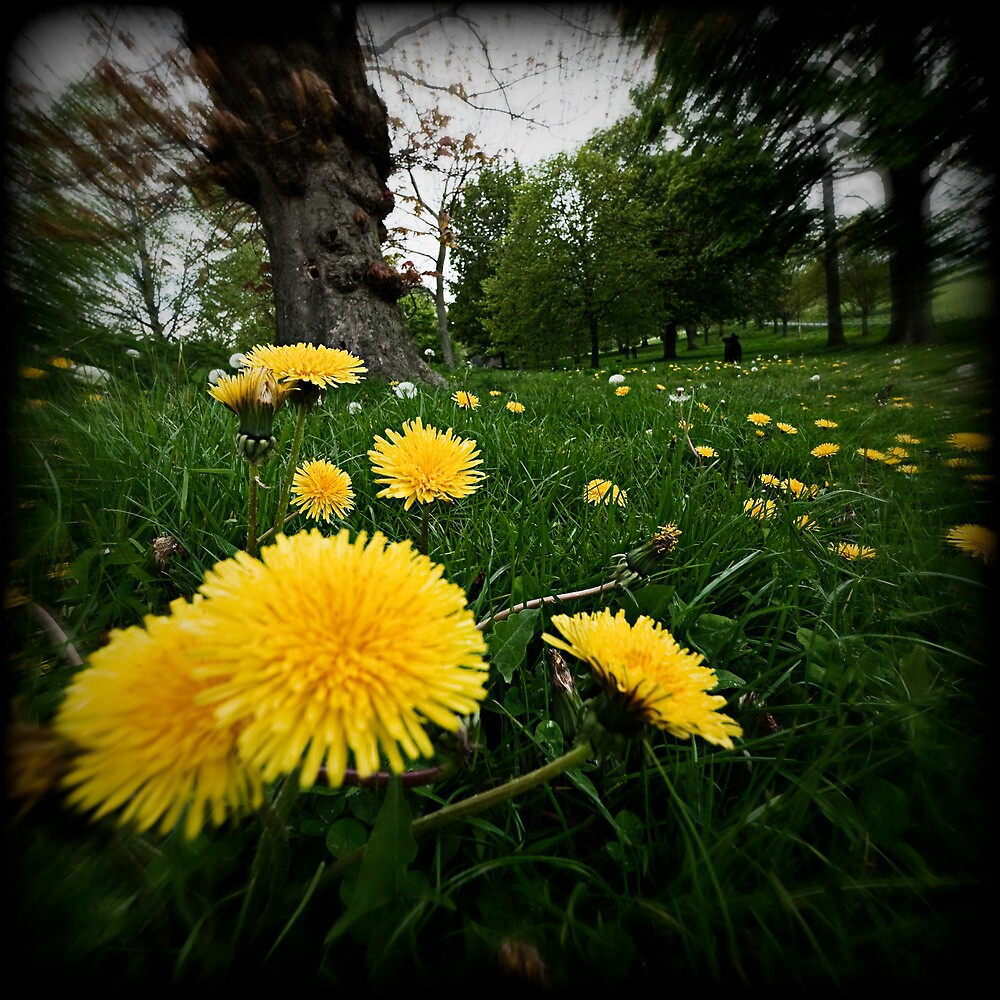 dandelions at stanmer park brighton sussex by Heather Buckley