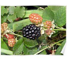 thornless blackberry Poster