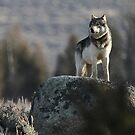 Yellowstone Wolves and Bears, Oh My! by Ken McElroy
