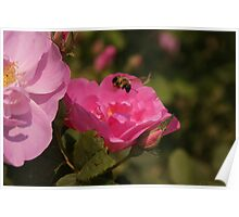 Wild Rose & the Bumble Bee Poster