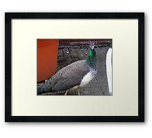 Peacock at Upton Park Framed Print
