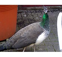 Peacock at Upton Park Photographic Print
