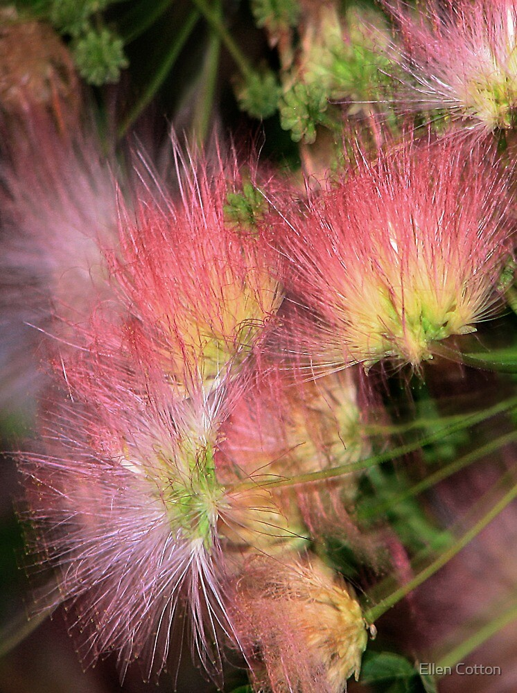 Mimosa Explosion by Ellen Cotton