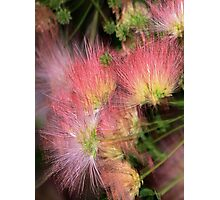 Mimosa Explosion Photographic Print