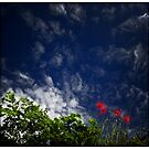 Coquelicots by Laurent Hunziker