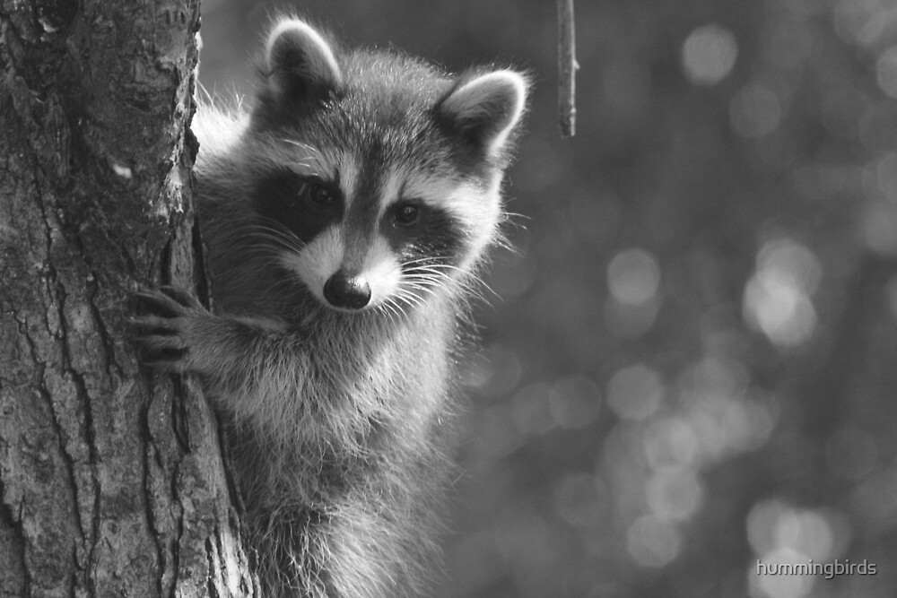 Peek-a-boo! /Baby Raccoon in black and white by hummingbirds