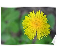 The Beauty of Dandelions Poster