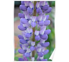 Lupine Blooms Poster