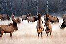 Elk calves at play in December by amontanaview