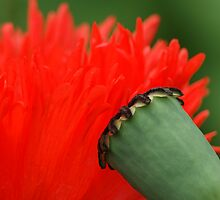 interview of a poppy by Fran E.