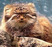 Pallas Cat by Veronica Schultz