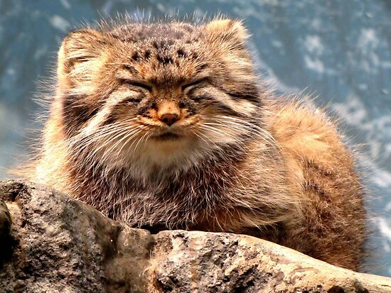 Pallas Cat by Veronica Schultz