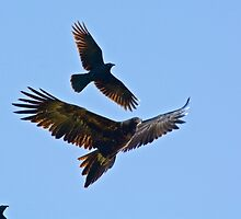Wedge-tailed Eagle, Forest Raven by tasmanianartist