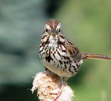 Cute Little Song Sparrow by swaby