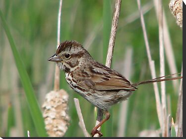 Song Sparrow by swaby