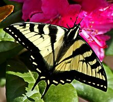 Western Tiger Swallowtail Butterfly (Papilio rutulus)  by Chuck Gardner
